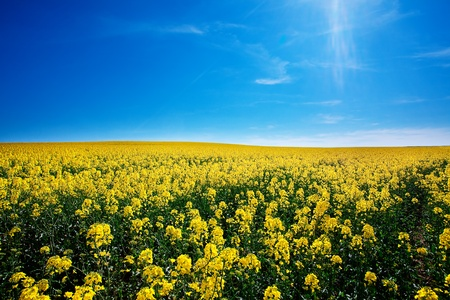 field of yellow rape against the blue sky Stock Photo - 9880231