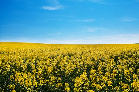 field of yellow rape against the blue sky photo