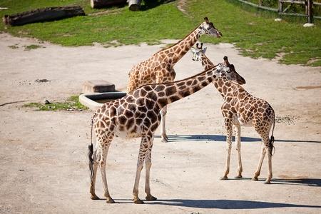 giraffes in the zoo safari park Stock Photo - 10617938
