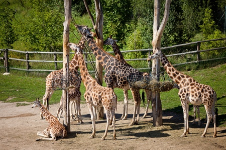 giraffes in the zoo safari park Stock Photo - 10617943