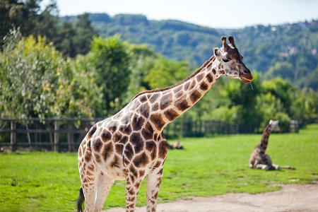 giraffes in the zoo safari park Stock Photo - 10617954