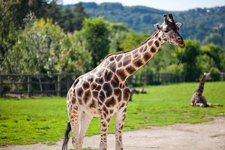 giraffes in the zoo safari park Stock Photo - 10617919