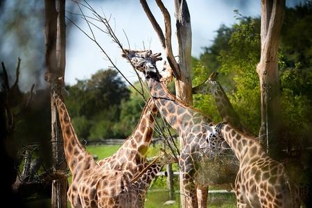giraffes in the zoo safari park Stock Photo - 10617944