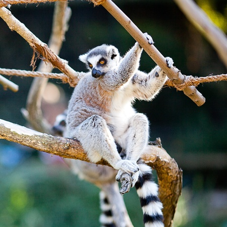 lemur sitting on the branches at the zoo photo