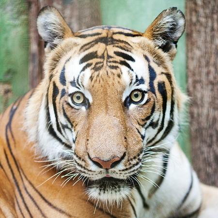 beautiful big tiger in a zoo photo