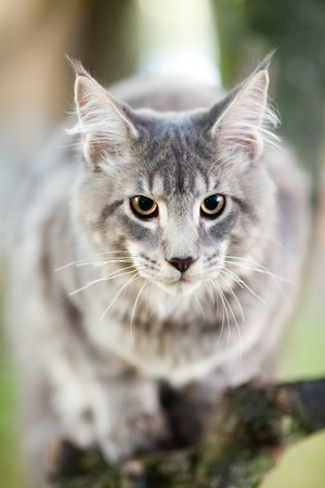 coon: beautiful striped maine coon cat in nature