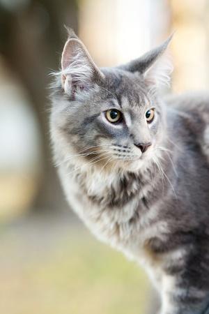 maine cat: hermosa rayas del gato Maine Coon en la naturaleza