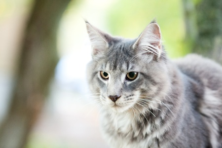 beautiful striped maine coon cat in nature photo