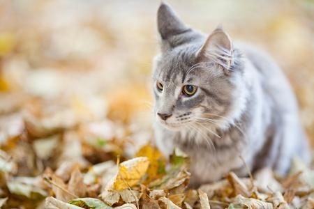 maine cat: hermosas rayas del gato Maine Coon en la naturaleza