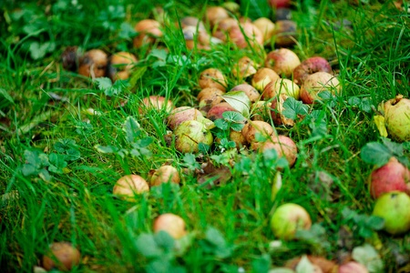 rotten apples in the background of green grass photo