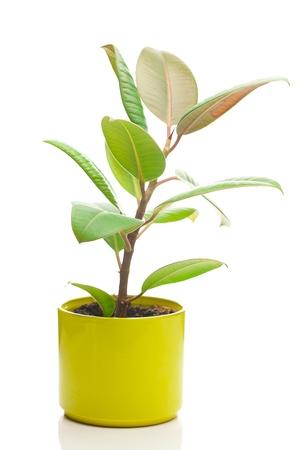 ollas de barro: flor de ficus en una maceta aislado en blanco