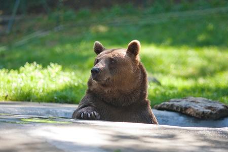 oso negro: oso pardo en la naturaleza Foto de archivo