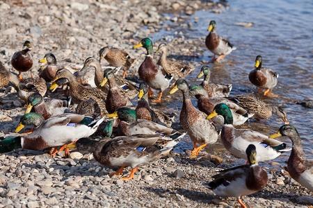 gray ducks in the water Stock Photo - 11973479