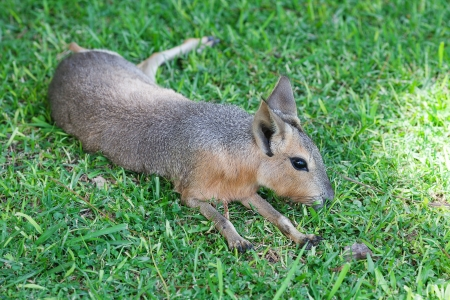 Patagonian mara lying on the green grass photo
