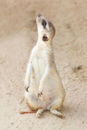 erdmaennchen: portrait of a beautiful suricata at the zoo