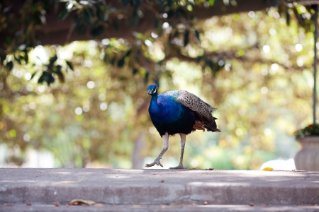 flaunt: beautiful peacock on the old bridge on the background of trees