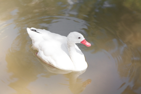 white goose floating in the water Stock Photo - 13899860