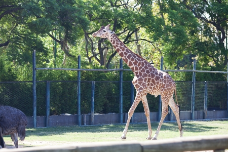 giraffe in an open cage at the zoo Stock Photo - 13900947