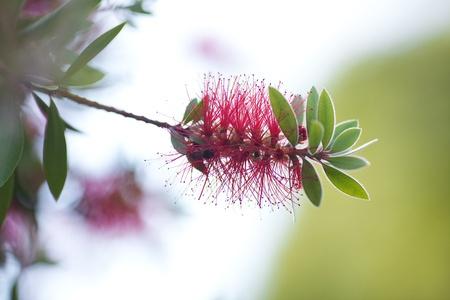 callistemon citrinus: pink flowers on a green tree Stock Photo