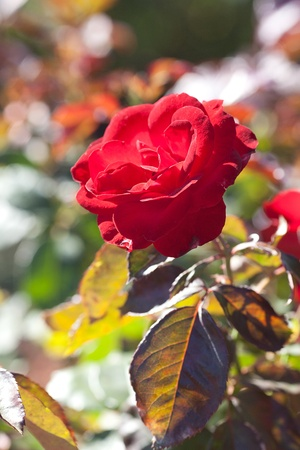background of beautiful roses in the garden Stock Photo - 13903824