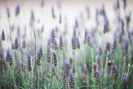 background of the beautiful purple lavender flowers photo