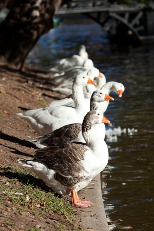 beautiful white geese in nature Stock Photo - 13995289