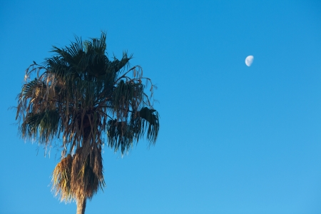 palm tree on the background southern blue sky and moon photo
