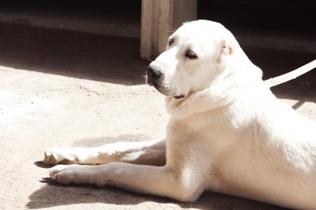 alabai: Portrait of a big white dog Alabai