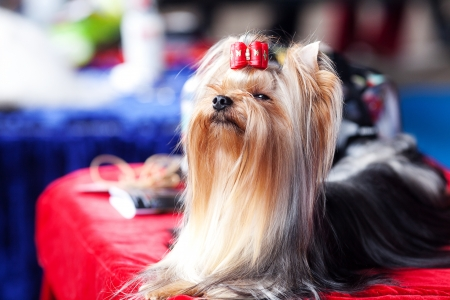 Portrait of Yorkshire terrier with bow sitting on a table photo