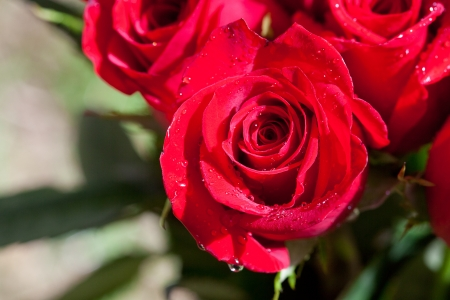 beautiful bouquet of red roses with water drops photo