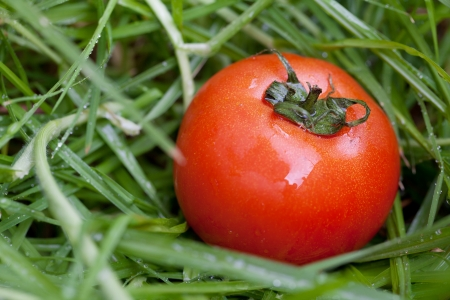 red juicy tomato on a background of green grass photo