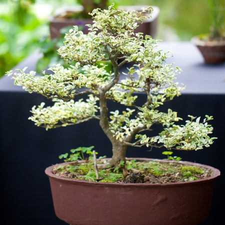 traditional plants: beautiful bonsai in a botanical garden