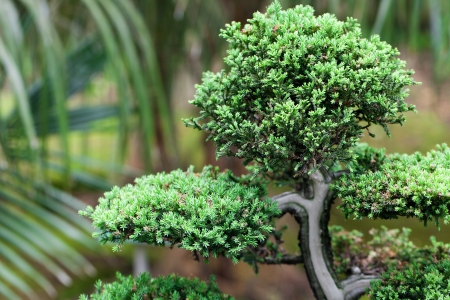 beautiful juniper bonsai  in a botanical garden photo