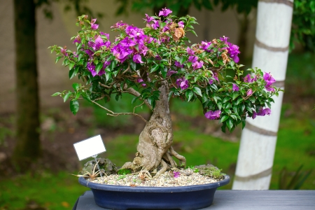 beautiful bonsai bougainvillea in a botanical garden photo