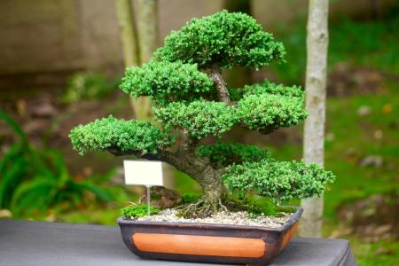 enebro: hermoso bonsai de enebro en un jard�n bot�nico