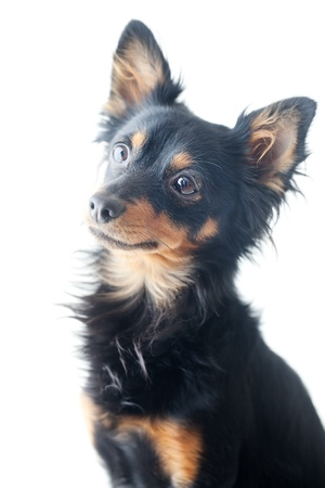 portrait of black russian toy terrier isolated on white photo