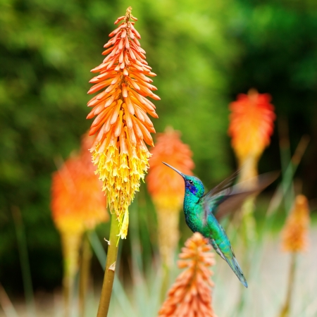 beautiful blue green hummingbird flying over a tropical orange flower kniphofia photo