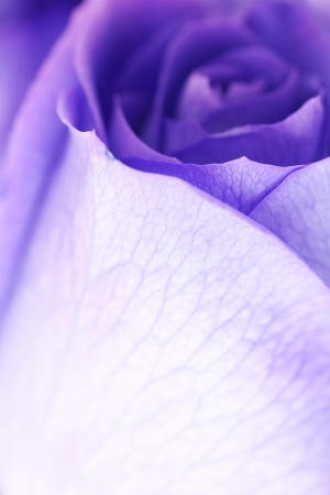 background of beautiful violet roses  photo