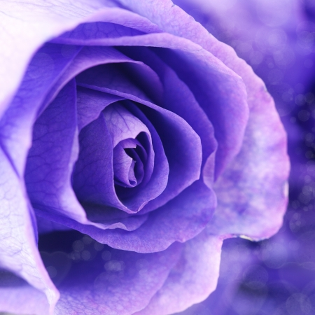 macro background of beautiful violet roses  photo