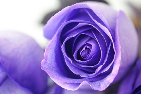 macro background of beautiful violet roses