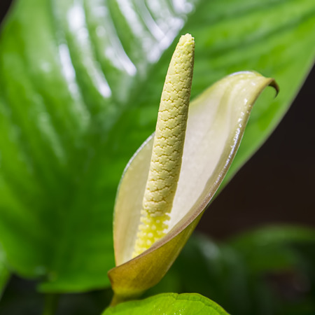 anubias: Beautiful flower of Anubias afzelii Stock Photo