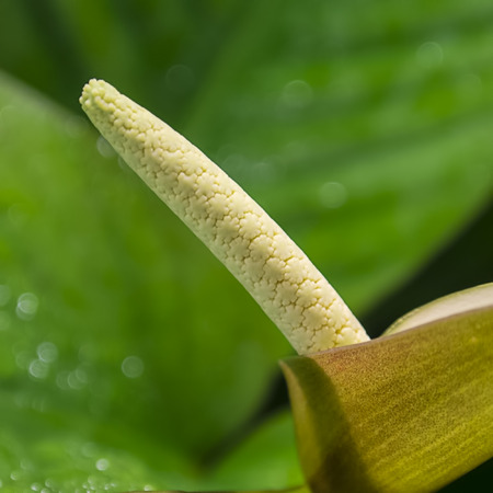 anubias: Hermosa flor de Anubias afzelii
