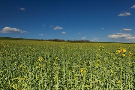 seasonic: Spring landscape and canola field Stock Photo