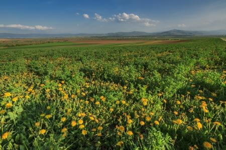 seasonic: Yellow flowera field and nice summer day