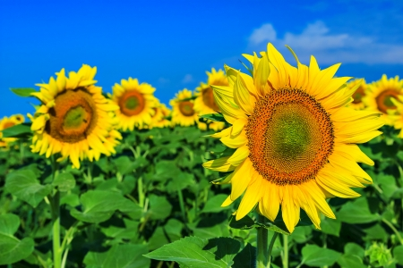 agronomics: Beautiful sunflowers in the field and blue cloudy sky Stock Photo