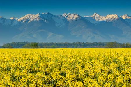 seasonic: Beautiful snowy mountains and rapeseed field in Transylvania,Fagaras-mountains,Carpathians,Romania