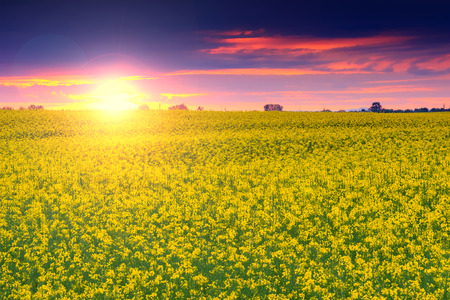 seasonic: Magical sunset and canola field in Transylvania, Romania