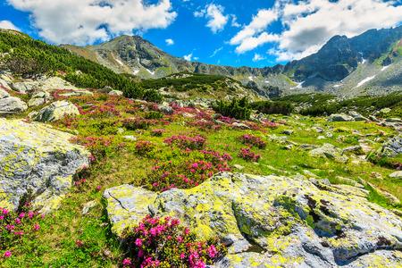 mountain meadow: Beautiful pink rhododendron flowers in the glacier valley,Retezat mountains,Carpathians,Transylvania,Romania Stock Photo