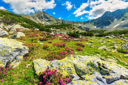 Beautiful pink rhododendron flowers in the glacier valley,Retezat mountains,Carpathians,Transylvania,Romania Banque d'images