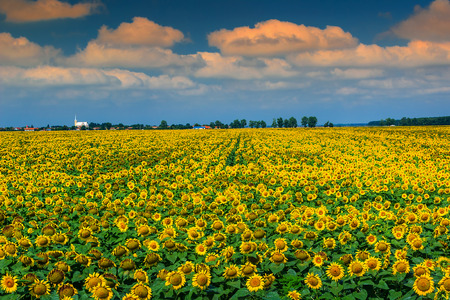 agronomics: Beautiful sunflowers in the field and blue sky near Buzias,Transylvania,Romania,Europe Stock Photo